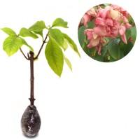 Tanaman Pohon Bunga Pink Mussaenda Limited