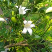 Bunga Kemuning / Bibit Kemuning / Bunga Wangi / Bibit / Bunga