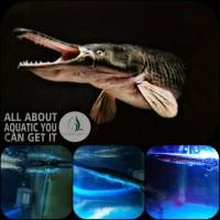 ikan aligator spatula untuk aquarium