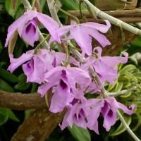 Kebun Bibit Tanaman Dendrobium Anosmum Gigantea Murah