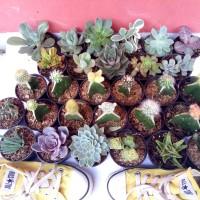 Jual kaktus dan sukulen mini 30pcs tanaman hias ruang tamu pekarangan bkn b Murah