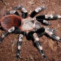 Tarantula Nandhu Chromatus