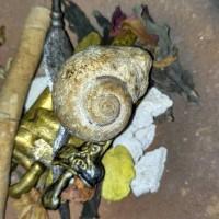 Jual kul buntet kol buntet fosil keong buntet sudah berkodam natural alami Murah