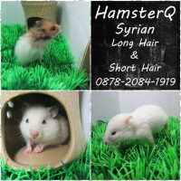 Hamster Syrian Long Hair / Short Hair