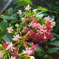 Melati belanda tanaman bunga rambat