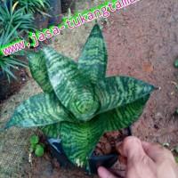tanaman hias sansivera / sansevieria kodokan/pohon sansivera mini