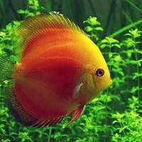harga Ikan Discus Red Melon Tokopedia.com