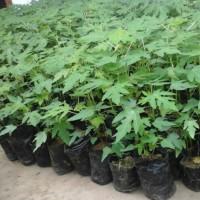 tanaman pepaya / bibit tanaman pepaya / pohon paya
