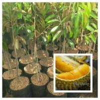 Jual Tanaman Bibit Buah Durian Montong Kaki 3 Murah