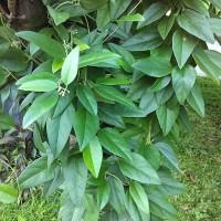 Daun cincau hijau rambat segar (100 lembar)