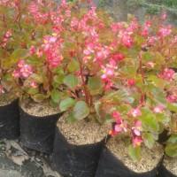 Tanaman Hias Begonia   Bunga Begonia