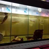 ikan arwana pino baby