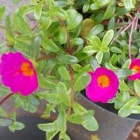 Jual tanaman sutera bombay merah /tanaman pukul 9 Murah