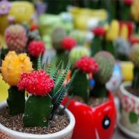 Bibit Benih Biji Tanaman Kaktus hias (import)