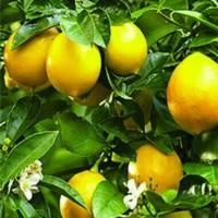 Jual Bibit Tanaman Buah Jeruk Lemon Tea Berbunga atau Berbuah Murah