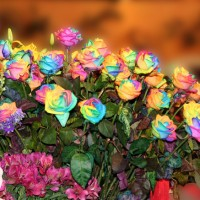Jual Benih Mawar Pelangi / Rainbow Rose (Import) asli murah Murah