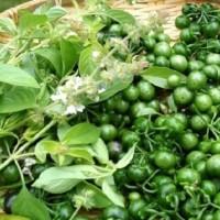 biji benih tanaman/sayur leunca