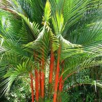Biji benih tanaman pinang palem merah