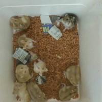 borongan hamster Winter White GRE & Tiger