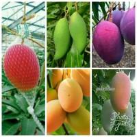 promo bibit mangga import 5 pohon