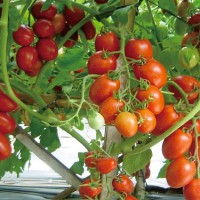 [isi 20] Benih Biji Bibit Tomat Unggul Sayur Sayuran Loka Tomato Seeds