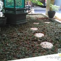 Jual Tukang taman, Kucai mini, Tanaman kucai mini, Rumput Kucai Murah