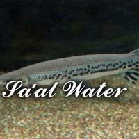 Ikan Aligator / Ikan Aligator Spatula / ikan Spatula AQUASCAPE