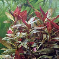 tanaman Aquascape alternanthera reineckii lilacina