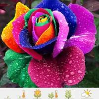 Jual Benih Biji Mawar rainbow rose colorfull bunga pelangi s Diskon Murah