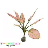 Aglaonema Pink Delight / Tanaman Hidup Hias Daun Teduh Mudah Perawatan