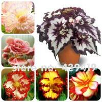 Benih Biji Bunga Begonia Import [L047FI]