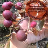 Jual Bibit Buah Kelengkeng Merah/Ruby Longan Termurah Eka Bibit Unggul Murah
