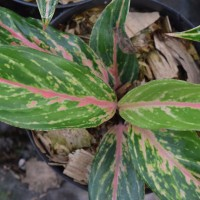 Aglaonema Butterfly