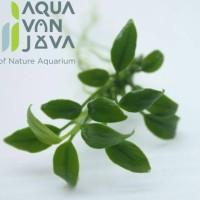 Anubias Chilli / Tanaman Aquascape
