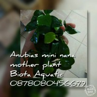 JUAL ANUBIAS MINI NANA MOTHER PLANT