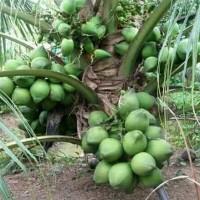 Bibit kelapa genjah hibrida