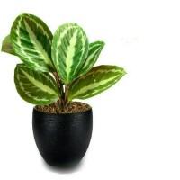 Harga tanaman hias calatea   antitipu.com