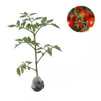 Tanaman Tomat Buah