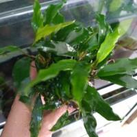anubias minima mother plant MP siap panen