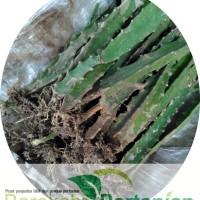 Jual Bibit Buah Naga Kuning Super dari Banyuwangi Murah