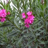 Tanaman Bunga Aleander (Nerium oleamder ) pink dan putih