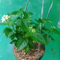 Tanaman Bunga Lantana Saudi