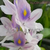 tanaman Eceng gondok (Eichhornia crassipes)