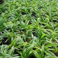 Lily paris/lili paris tanaman umbi mudah hidup
