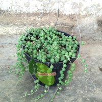 Tanaman Kaktus Tasbih
