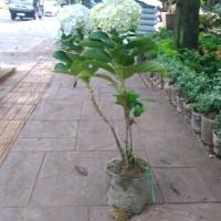 Jual Pohon Panca Warna Murah