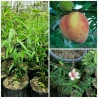 Bibit buah persik( peach/prunus persia)