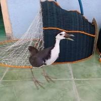 Alat Tangkap Burung Ruak Belibis dan macam macam Burung
