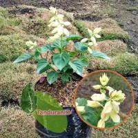 Tanaman Hias Salvia Putih