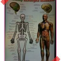 mainan poster edukasi belajar anak seri anatomy kerangka manusia
